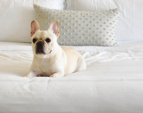 French bulldog laying on one of the beds at Windsor Court Hotel enjoying the hotel's Pampered Pets Program